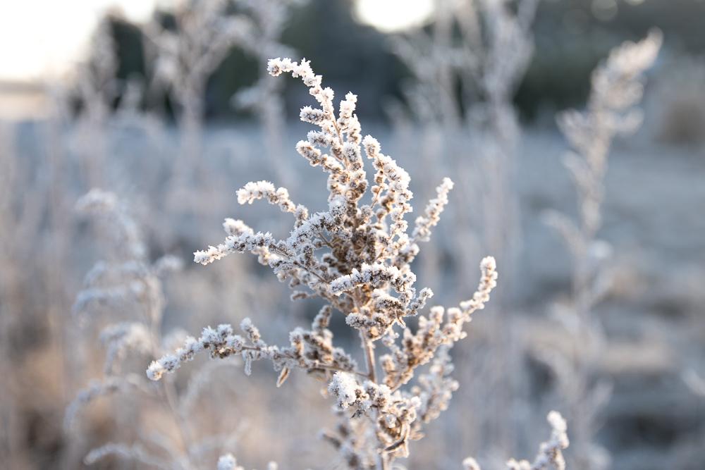 Das neue Jahr und Väterchen Frost - gooseberry pictures
